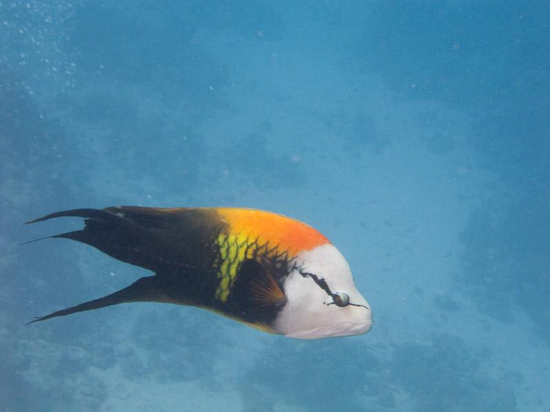 Photo at Shark & Yolanda Reefs:  Slingjaw wrasse