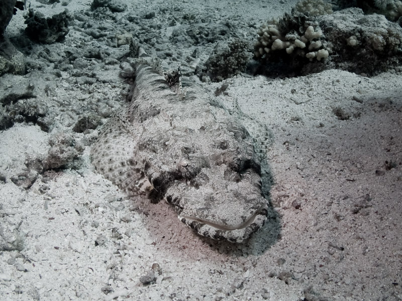Photo at Shark & Yolanda Reefs:  Tentacled flathead