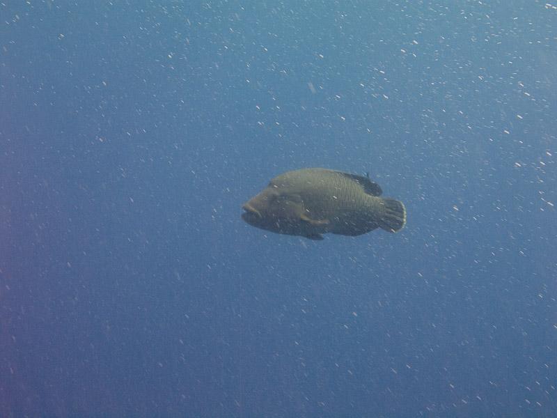 Photo at Shark & Yolanda Reefs:  Humphead wrasse