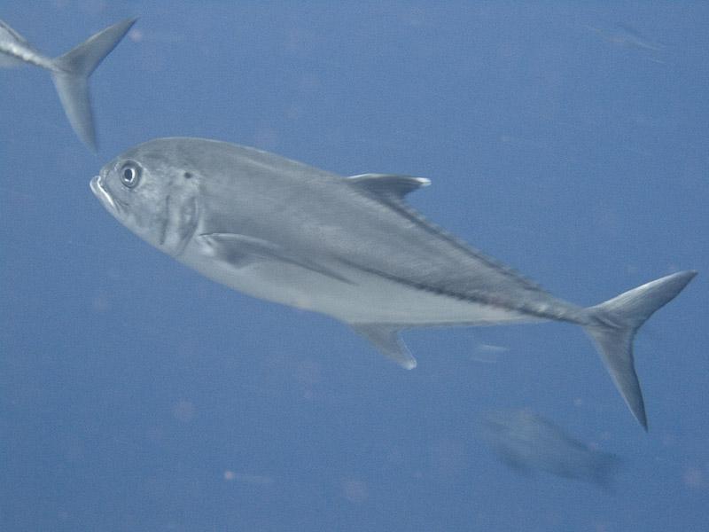 Photo at Jackson Reef:  Bigeye trevally
