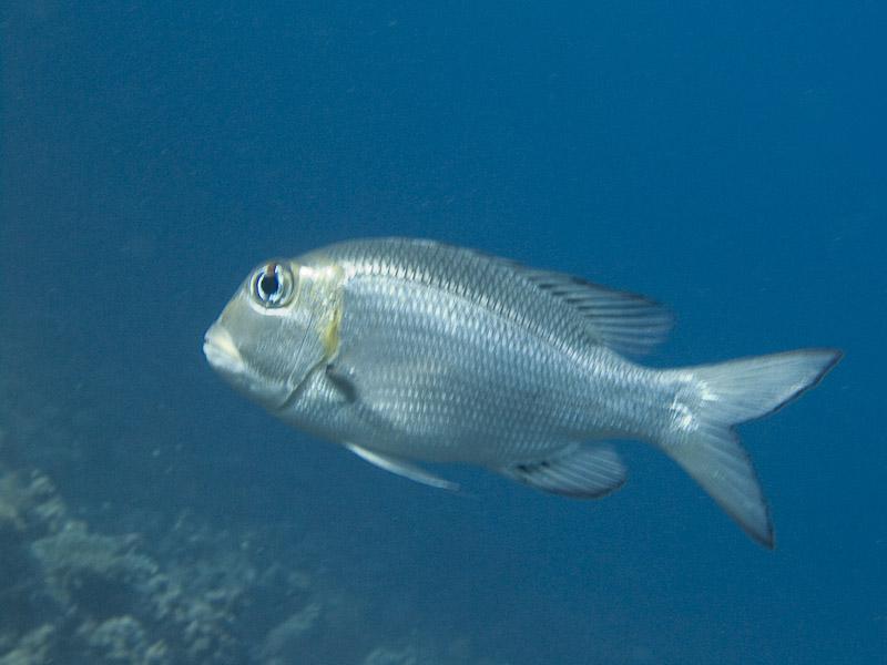 Photo at Woodhouse Reef:  Humpnose big-eye bream