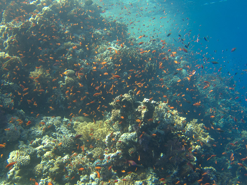 Photo at Woodhouse Reef:  Sea goldie