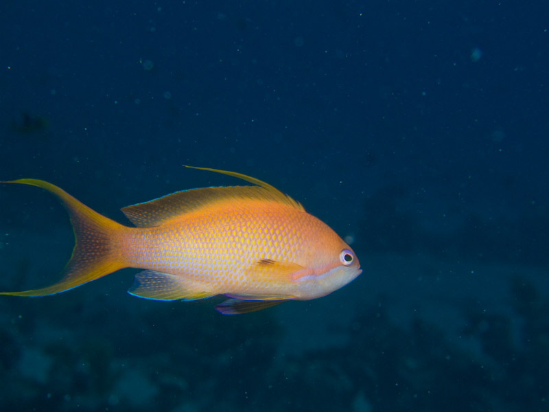Photo at The Canyon:  Sea goldie
