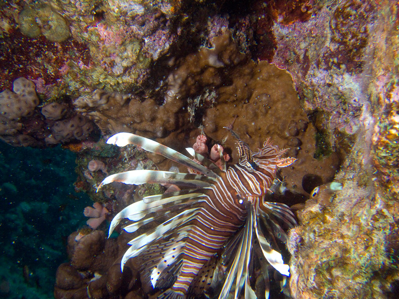 Photo at The Canyon:  Devil firefish