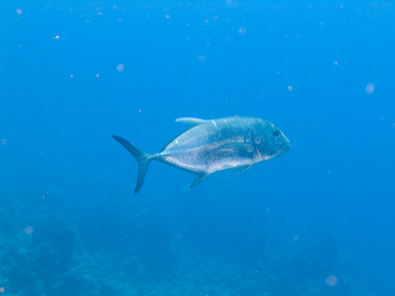 Photo at Jackfish Alley:  Giant trevally