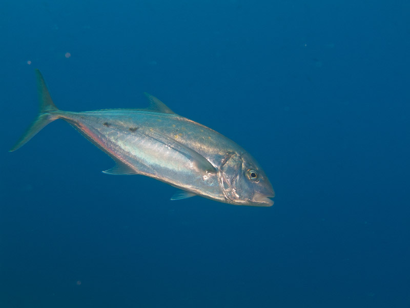 Photo at Jackfish Alley:  Yellow-dotted trevally