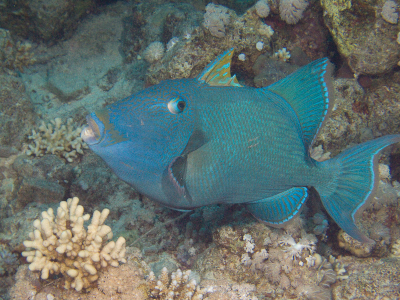 Photo at Jackfish Alley:  Yellow-spotted triggerfish