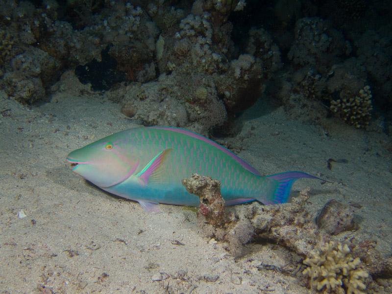 Photo at Shark & Yolanda Reefs:  Candelamoa parrotfish