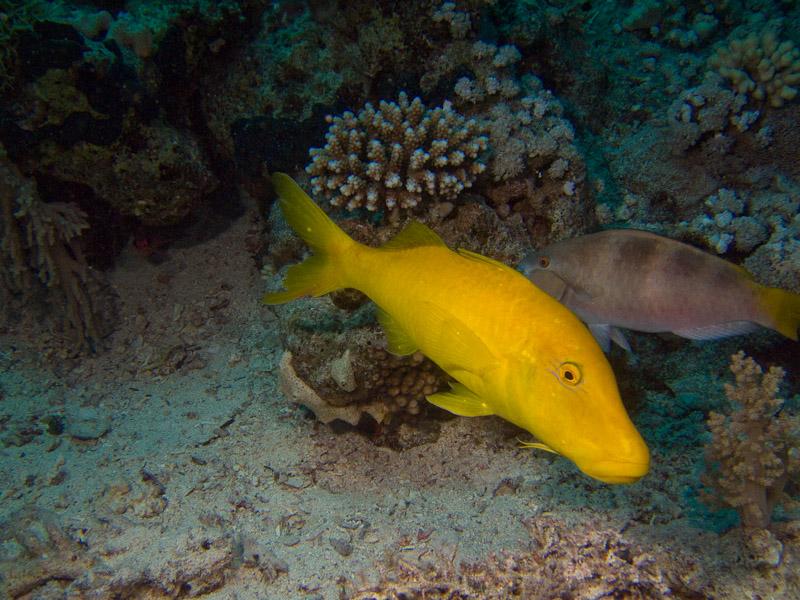 Photo at Shark & Yolanda Reefs:  Goldsaddle goatfish