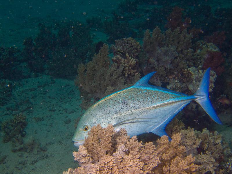 Photo at Shark & Yolanda Reefs:  Bluefin trevally
