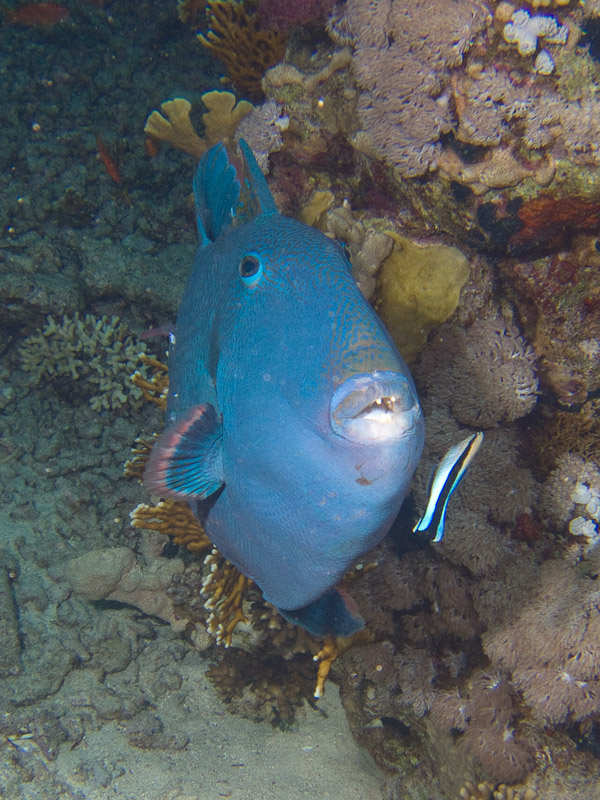 Photo at Shark & Yolanda Reefs:  Bluestreak cleaner wrasse,Yellow-spotted triggerfish