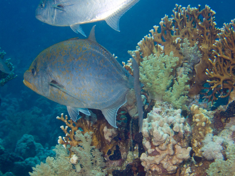 Photo at Jackfish Alley:  Orangespotted trevally