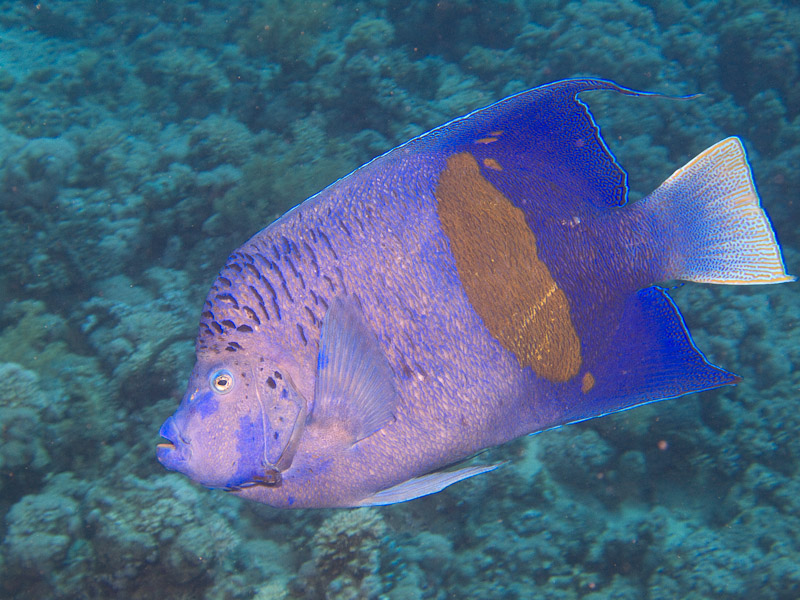 Photo at Jackfish Alley:  Yellowbar angelfish