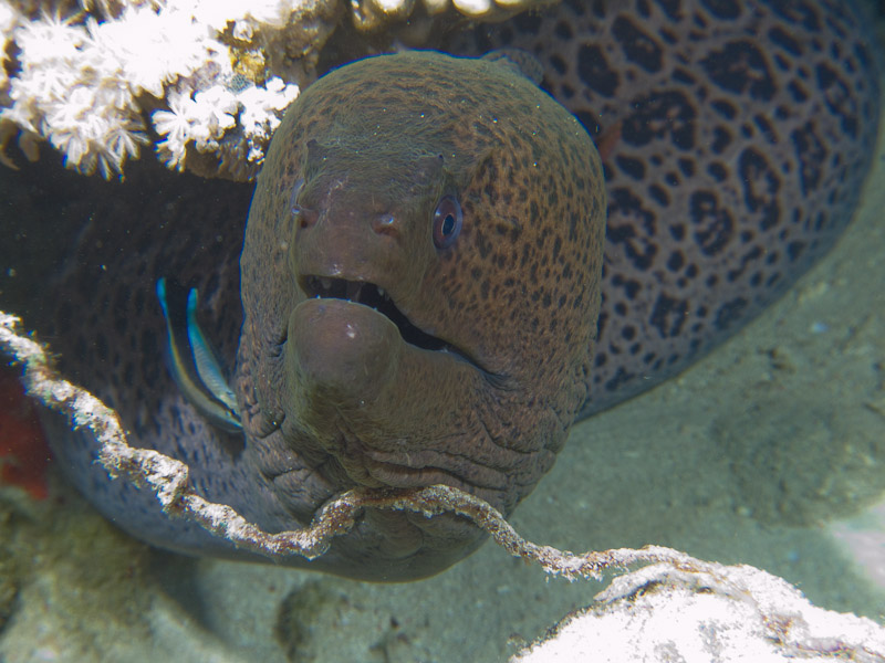 Photo at Jackfish Alley:  Bluestreak cleaner wrasse,Giant moray