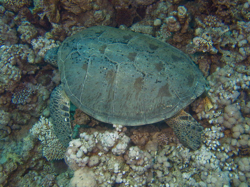Photo at Jackfish Alley:  Green Turtle