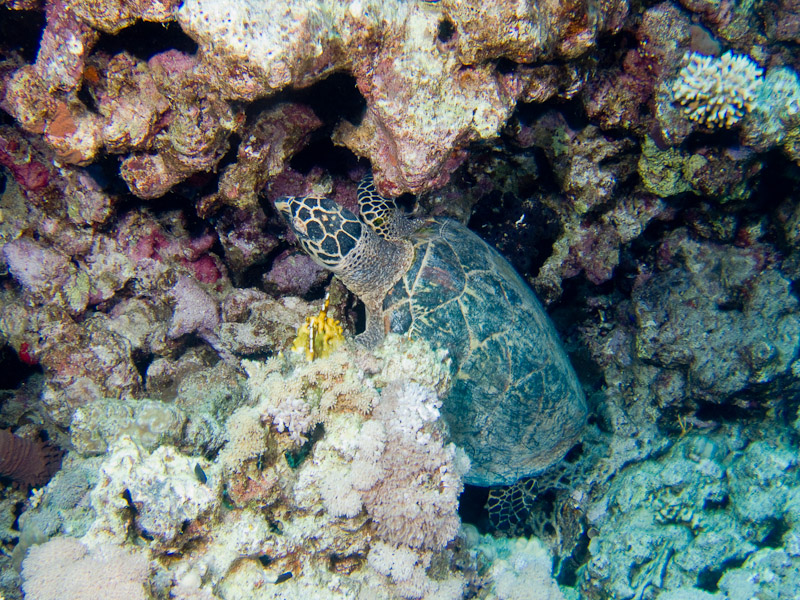Photo at Jackfish Alley:  Hawksbill Turtle