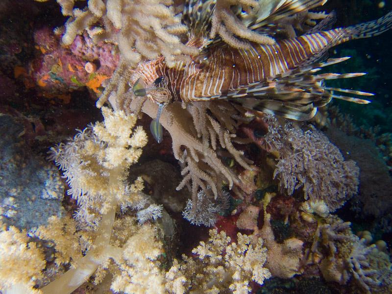 Photo at Shark & Yolanda Reefs:  Devil firefish