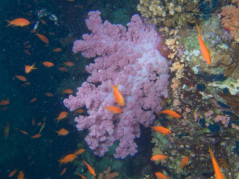 Photo at Shark & Yolanda Reefs:  Sea goldie