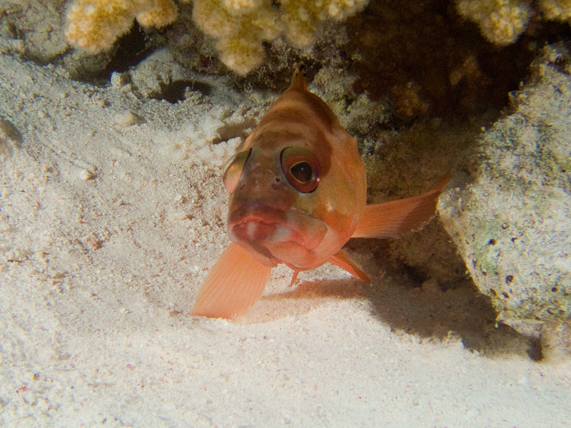 Photo at Gordon Reef:  Blacktip grouper