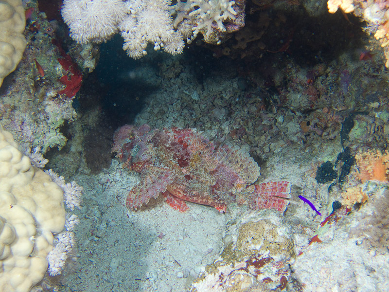 Photo at Jackson Reef:  Tassled scorpionfish