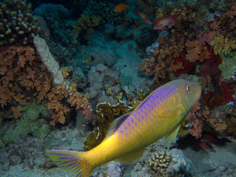 Photo at Jackson Reef:  Goldsaddle goatfish