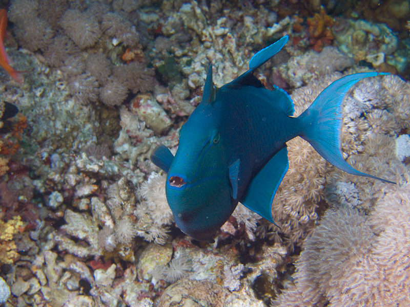 Photo at Jackson Reef:  Redtoothed triggerfish
