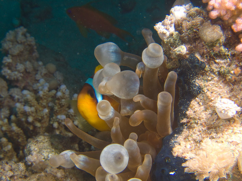 Photo at Ras Ghazlani:  Twoband anemonefish