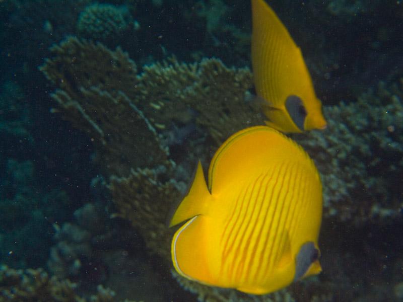 Photo at Ras Ghazlani:  Bluecheek butterflyfish