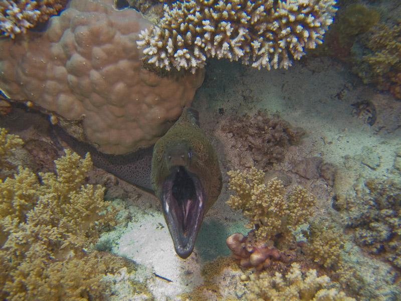Photo at Shark & Yolanda Reefs:  Giant moray