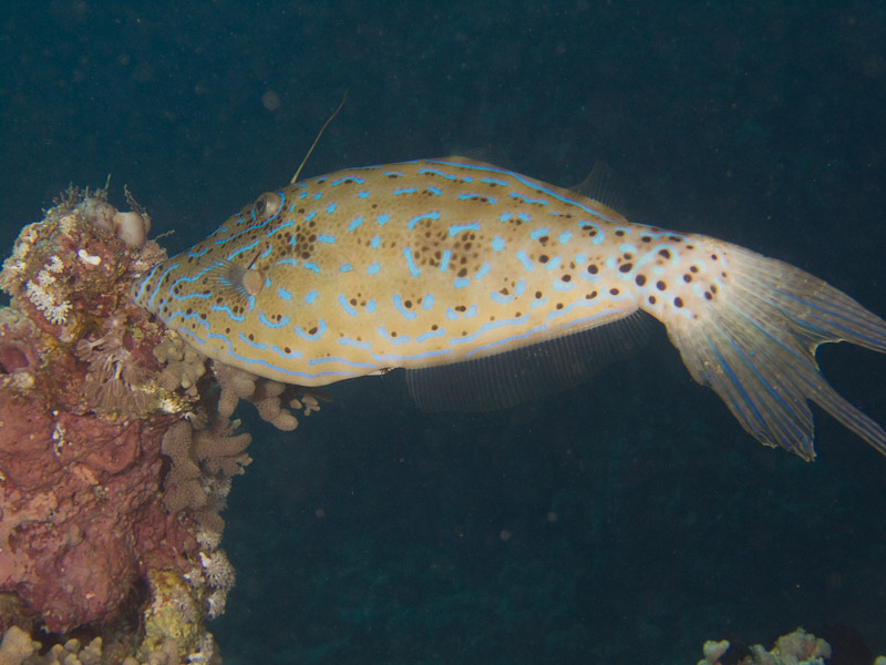 Photo at Ras Um Sid:  Scrawled filefish