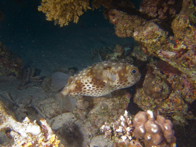 Photo at The Canyon:  Spotbase burrfish