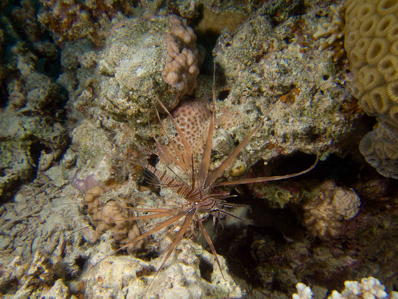 Photo at The Canyon:  Radial firefish
