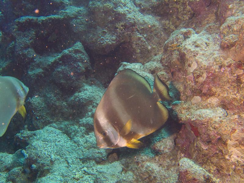 Photo at Shark Observatory:  Tiera batfish
