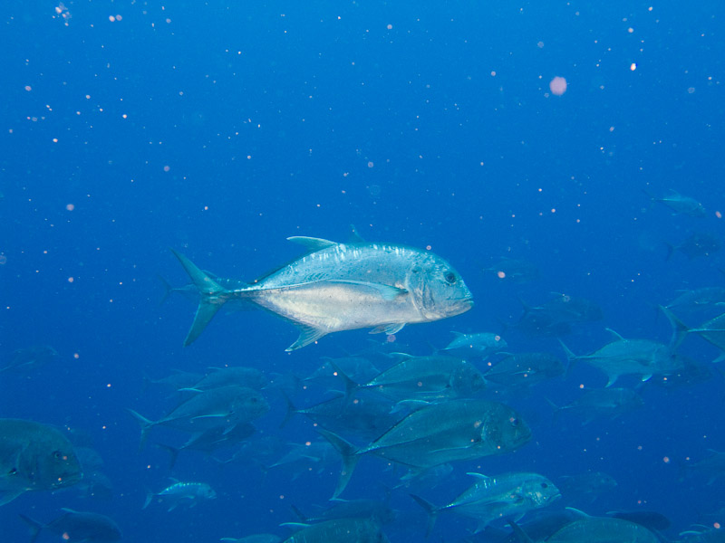 Photo at Shark Observatory:  Giant trevally