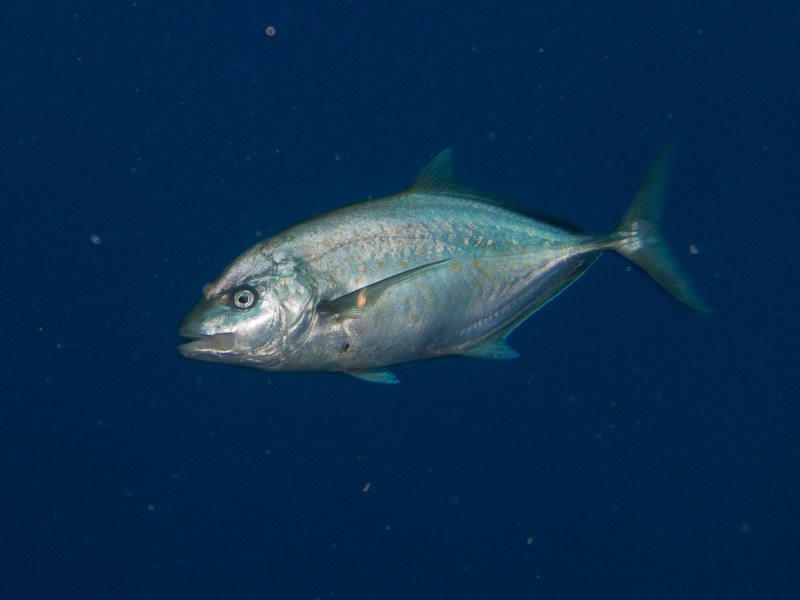 Photo at Shark Observatory:  Orangespotted trevally