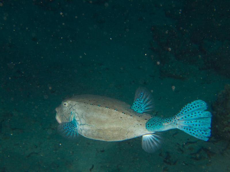 Photo at Shark & Yolanda Reefs:  Yellow boxfish