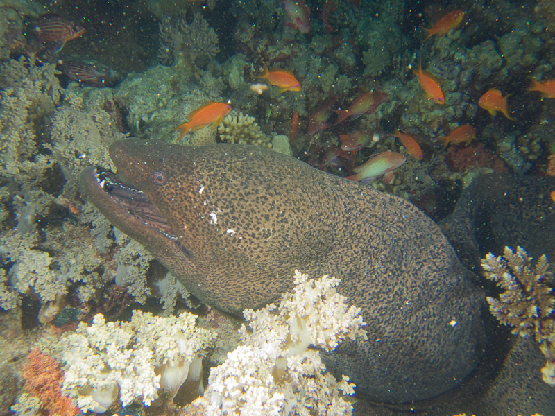 Photo at Shark & Yolanda Reefs:  Giant moray