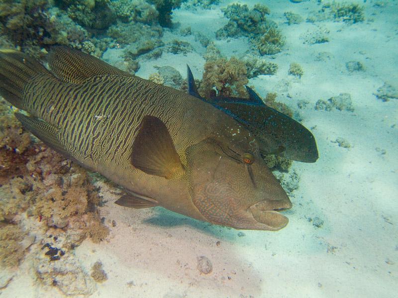 Photo at Shark & Yolanda Reefs:  Bluefin trevally,Humphead wrasse