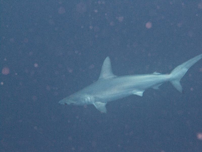 Photo at Jackson Reef:  Scalloped hammerhead