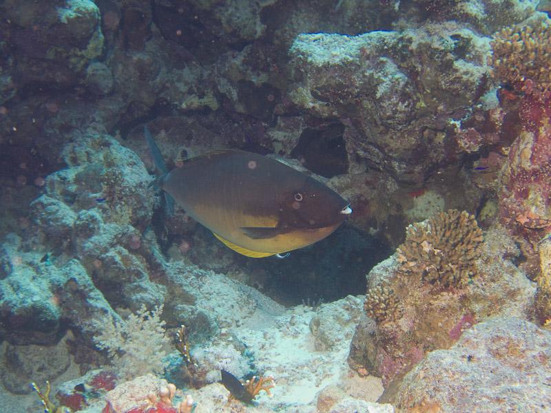 Photo at Jackson Reef:  Sleek unicornfish