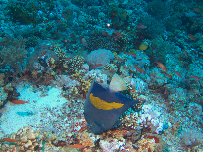 Photo at Jackson Reef:  Yellowbar angelfish