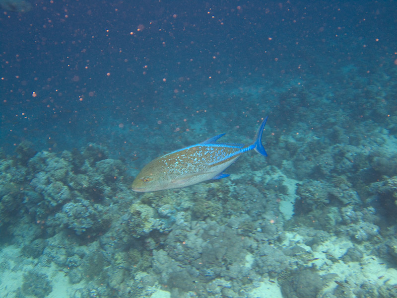 Photo at Jackson Reef:  Bluefin trevally