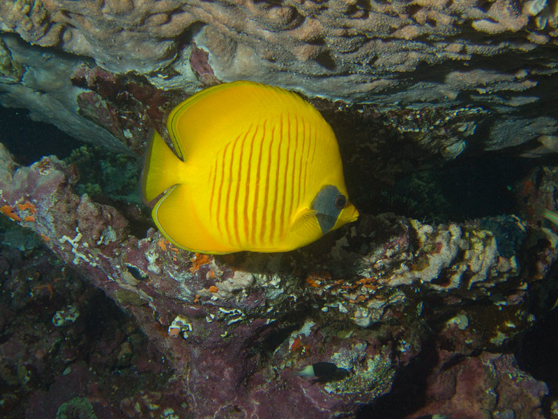 Photo at Jackson Reef:  Bluecheek butterflyfish