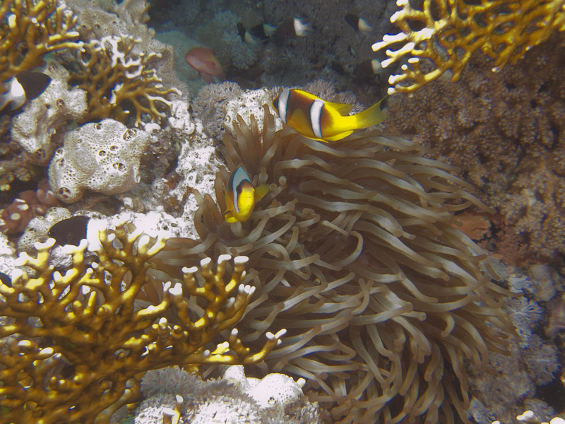 Photo at Ras Ghamila:  Twoband anemonefish