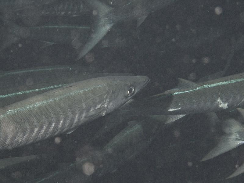Photo at Shark & Yolanda Reefs:  Pickhandle barracuda