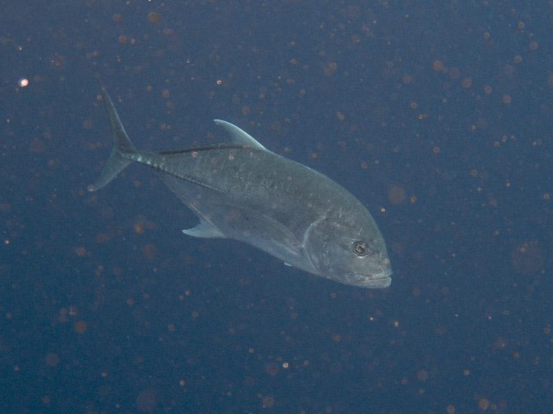 Photo at Shark & Yolanda Reefs:  Bigeye trevally