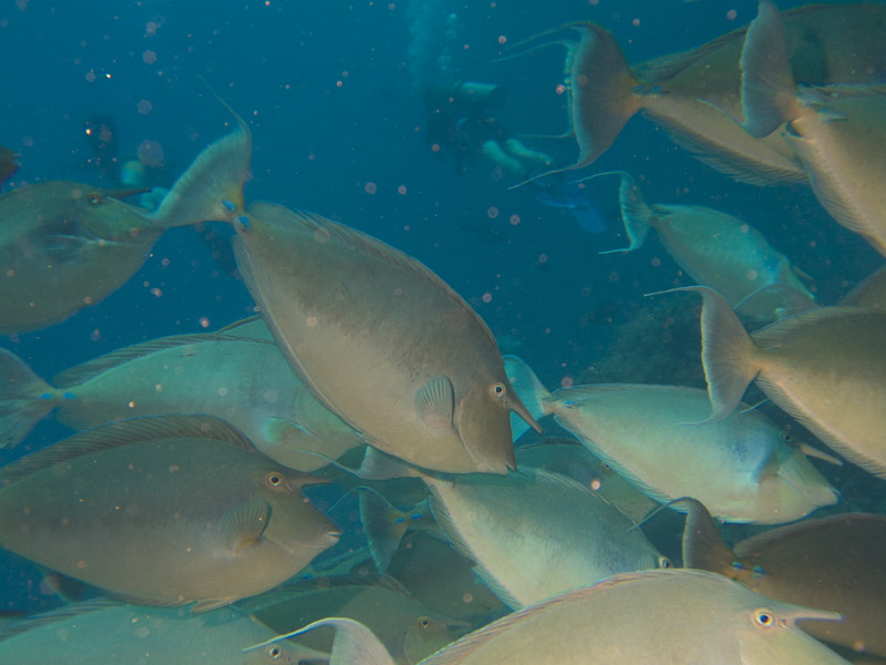 Photo at Shark & Yolanda Reefs:  Bluespine unicornfish