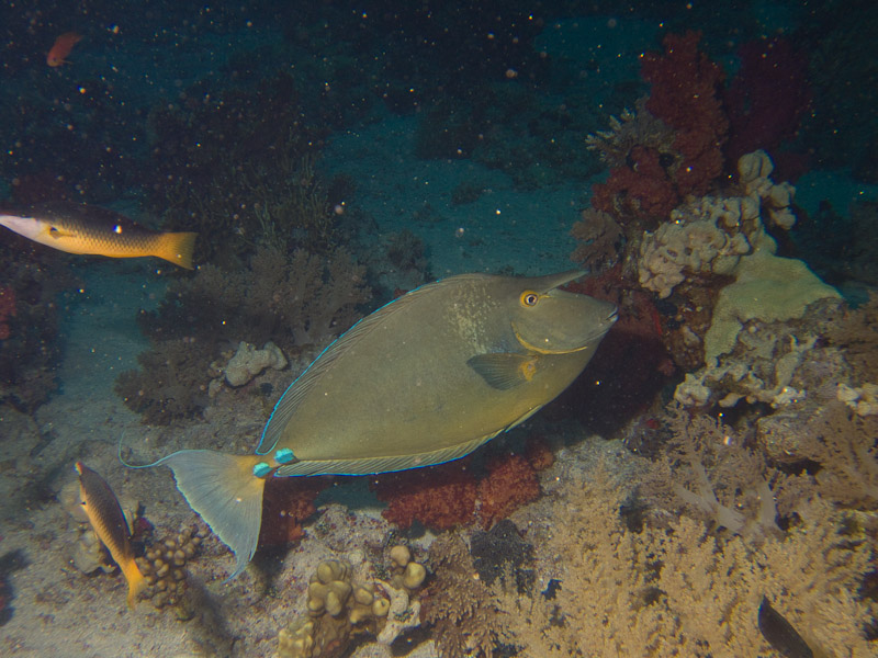 Photo at Shark & Yolanda Reefs:  Bluespine unicornfish
