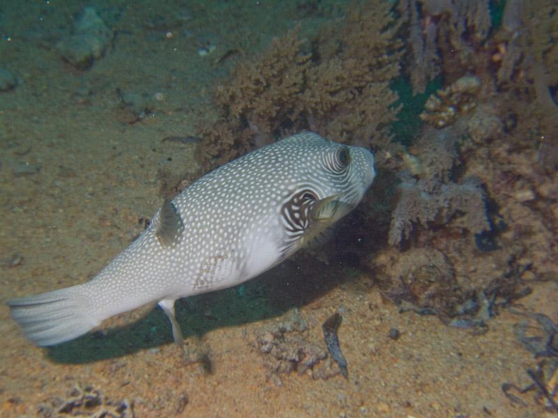 Photo at Shark & Yolanda Reefs:  White-spotted puffer