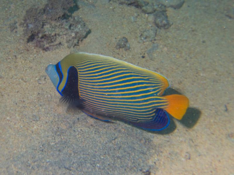 Photo at Shark & Yolanda Reefs:  Emperor Angelfish